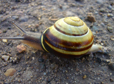 close-up of a banded, brown-lipped snail