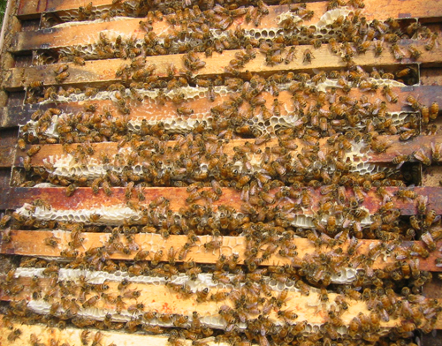 Image: honey bees in hive